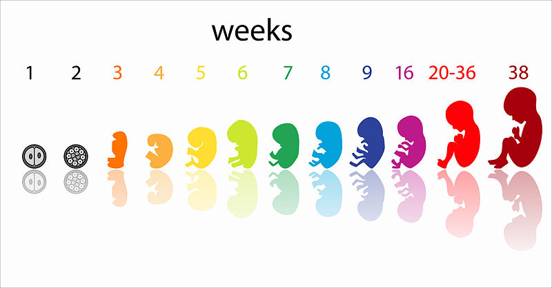 Prenatal development by weeks